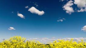 Зажим промежутка времени белых пушистых облаков над голубым небом над полем с желтыми полевыми цветками видеоматериал