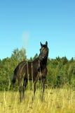 Заинтересованный пристальный взгляд черной лошади стоковые фотографии rf