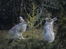 2 зайца обгрызая на малом дереве Стоковые Изображения RF