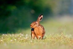 Зайцы Брайна Стоковые Фото