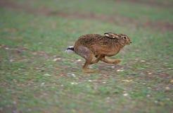 Зайцы Брайна, europaeus Lepus стоковое изображение rf