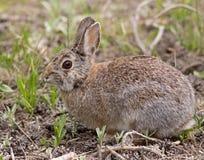 Зайцы в Колорадо Стоковые Изображения