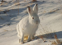 Зайцы в снеге Стоковое фото RF