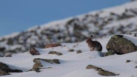 Зайцы горы, timidus Lepus, во время октября все еще в пальто лета окруженном снегом в cairngorms NP, Шотландия сток-видео