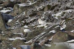 Зайцы горы, timidus Lepus, конец вверх по портрету пока сидеть, кладя на снег во время зимы в пальто зимы/лета во время autumn/wi стоковое изображение