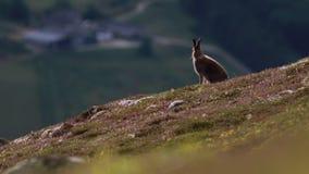 Зайцы горы, timidus Lepus, сидя и смотря вокруг на стороне холма в национальном парке cairngorms во время предыдущего утра в июле сток-видео