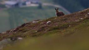 Зайцы горы, timidus Lepus, сидя и смотря вокруг на стороне холма в национальном парке cairngorms во время предыдущего утра в июле видеоматериал