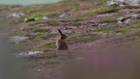 Зайцы горы, timidus Lepus, среди вереска ling фиолетового на наклоне горы в cairngorms NP, Шотландия во время июля сток-видео
