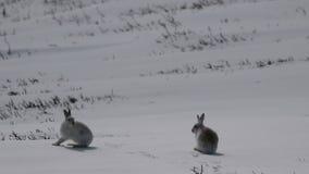 Зайцы горы, timidus Lepus, чистка, еда, бежать на туманный день в снеге во время зимы в национальном парке cairngorm, s видеоматериал
