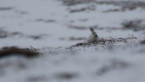 Зайцы горы, timidus Lepus, чистка, еда, бежать на туманный день в снеге во время зимы в национальном парке cairngorm, s сток-видео