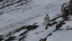 Зайцы горы, timidus Lepus, чистка, еда, бежать на туманный день в снеге во время зимы в национальном парке cairngorm, s акции видеоматериалы