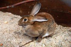 Зайцы зайчика Брайна Стоковое фото RF