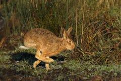 Зайцы на беге Стоковые Фото