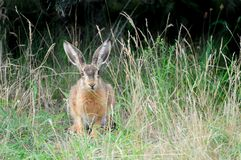 зайцы одичалые Стоковое Изображение RF