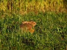 зайцы одичалые Стоковое Изображение