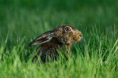 Зайцы сидя в луге, весна Брайна Стоковая Фотография RF