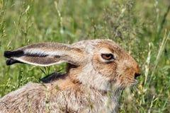 Зайцы сидя в зеленой траве на солнечный день Стоковое Фото