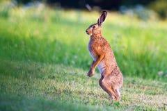 Зайцы стоя на луге, подготавливая для боя скопируйте космос стоковое фото