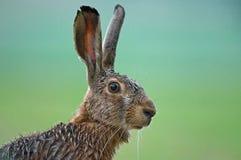 Зайцы Стоковое Фото