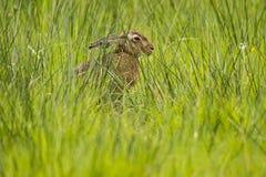 Зайцы, europaeus Lepus стоковое изображение rf