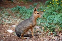 зайцы patagonian Стоковое Изображение