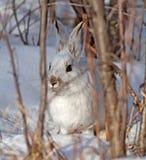 Зайцы Snowshoe Стоковые Изображения