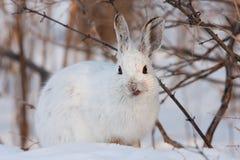 Зайцы Snowshoe Стоковые Фотографии RF
