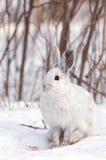 Зайцы Snowshoe Стоковая Фотография