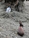 Зайчики пасхи в сене стоковая фотография rf