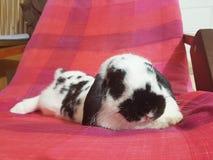 Зайчик Голландия кролика сокращает стоковая фотография rf