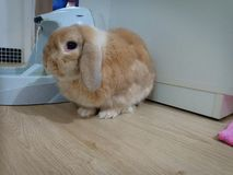 Зайчик Голландия кролика сокращает стоковая фотография