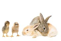 Зайчик и цыпленок стоковые фото