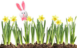 Зайчик и Daffodils пасхи Стоковые Изображения RF