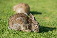 Зайчик молодых зайцев кролика Джека щенка одичалый Стоковое Изображение