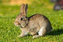 Зайчик молодых зайцев кролика Джека щенка одичалый Стоковое Фото