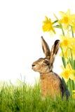 Зайчик пасхи на луге с daffodils Стоковые Изображения RF