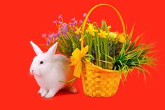 Белые зайчик и корзина с daffodils на красной предпосылке Стоковое Изображение