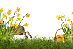Зайчик пасхи с daffodils Стоковая Фотография