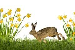 Зайчик пасхи с daffodils Стоковое Изображение RF