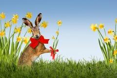 Зайчик пасхи с daffodils Стоковые Фото