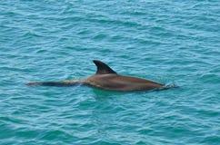 Закаленный дельфин стоковая фотография rf