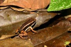 закамуфлированная лягушка дротика Стоковые Фото