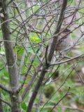 Закамуфлированный воробей дома зелёного юнца садился на насест в ветвях куста Стоковые Фото