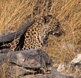 закамуфлированный леопард Стоковые Фото