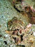 закамуфлированный scorpionfish Стоковая Фотография