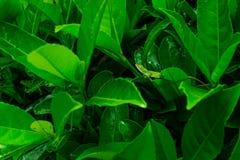 Закамуфлированная зеленая ящерица Буша Стоковая Фотография