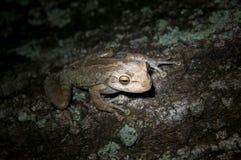 Закамуфлированная древесная лягушка Стоковые Изображения