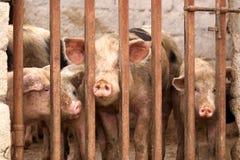 заключенные свиньи Стоковое Фото