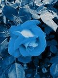 Заколдованная роза сини! Стоковое Изображение RF