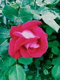 Заколдованный накалять розов поднял! Стоковое фото RF